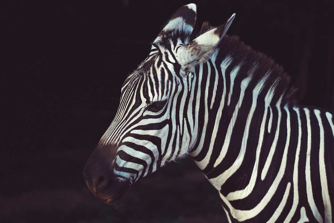 Why the zebra? – The Ehlers-Danlos Support UK
